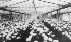 http://iwm.index.be/Uploads/chrysanten-site.jpg